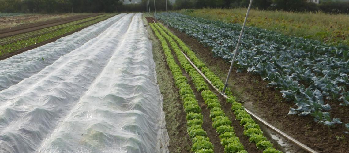 Navets sous filets, salades et brocolis (automne)