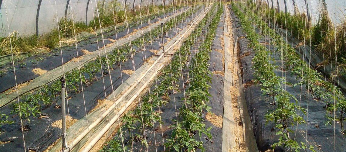 Les tomates poussent!