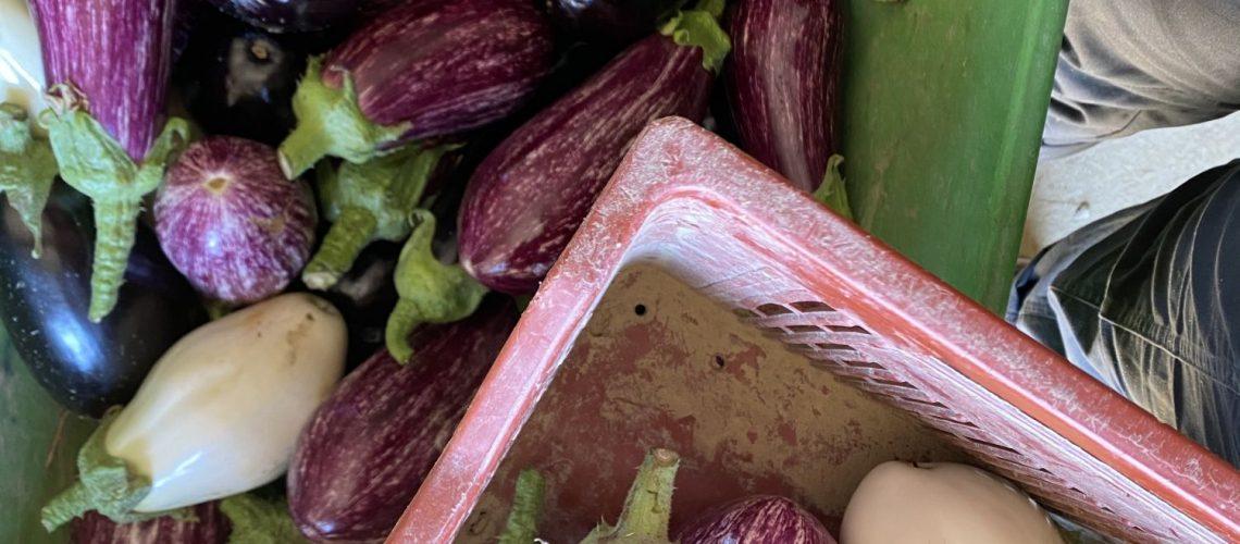 Récolte des aubergines