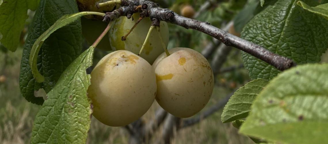 Les prunes du verger