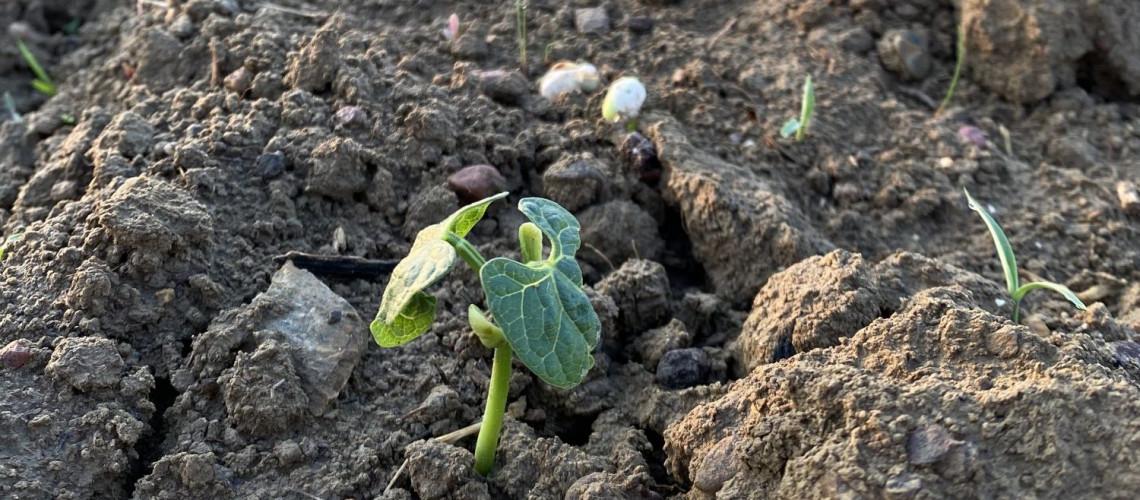 Les haricots sortent de terre